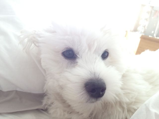 Inspired by love: Coton de tulear