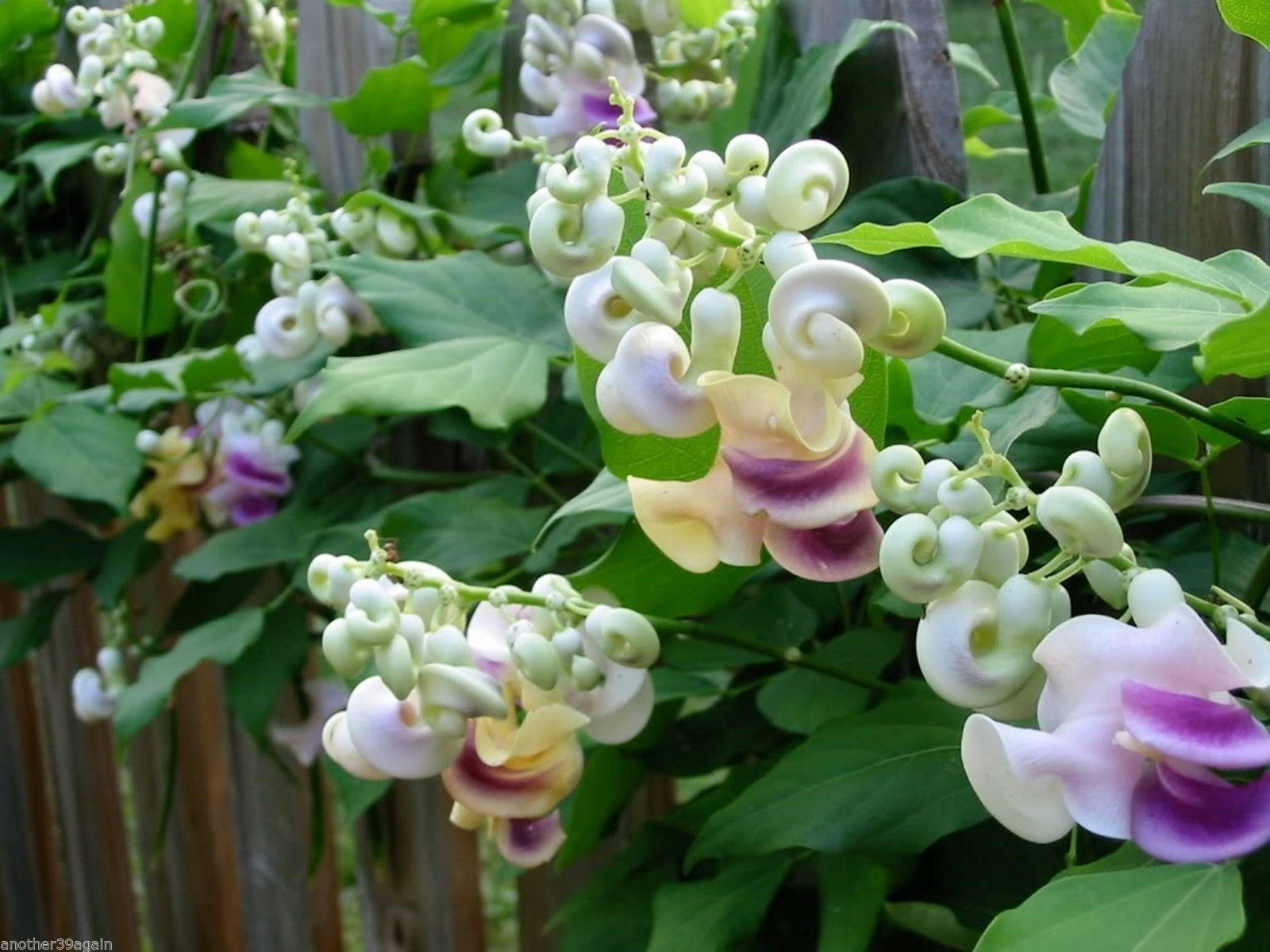 Corkscrew Vine Very Hard To Find 5 Seeds Grows Beautiful Exotic