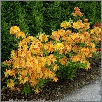 Rhododendron / Azalea