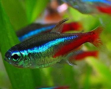 To Carry Out Breeding Of Neon Tetras It Is Very Important To Distinguish Between Male And Female To That Bree Tetra Fish Neon Tetra Fish Tropical Fish Pictures