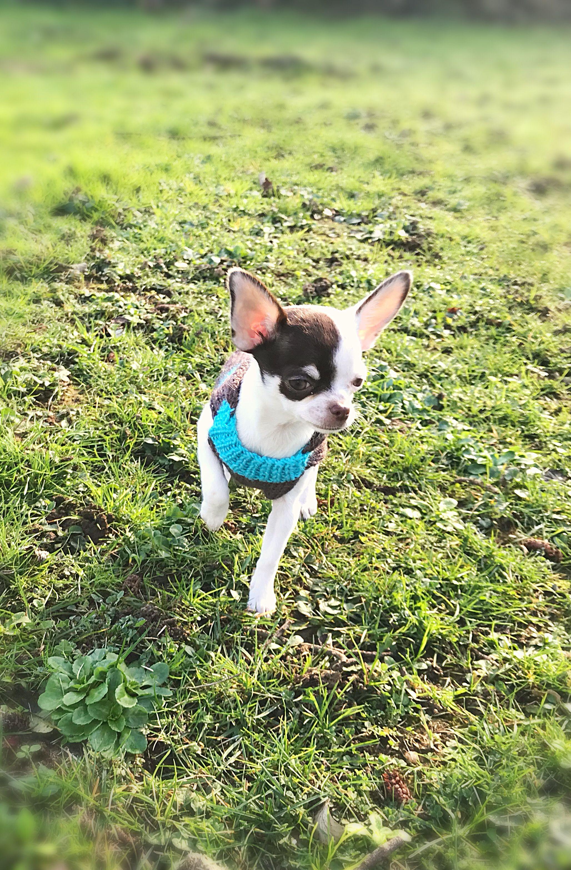 Dolce My Chihuahua Chocolat So Sweet Chihuahua Boston