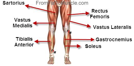 simple diagram of leg muscles   Leg & Butt Burn workout