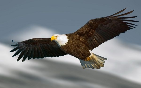 40 Immoral And Powerful Pictures Of Eagles King Of The Sky Tail And Fur Eagle Wallpaper Bald Eagle Powerful Pictures