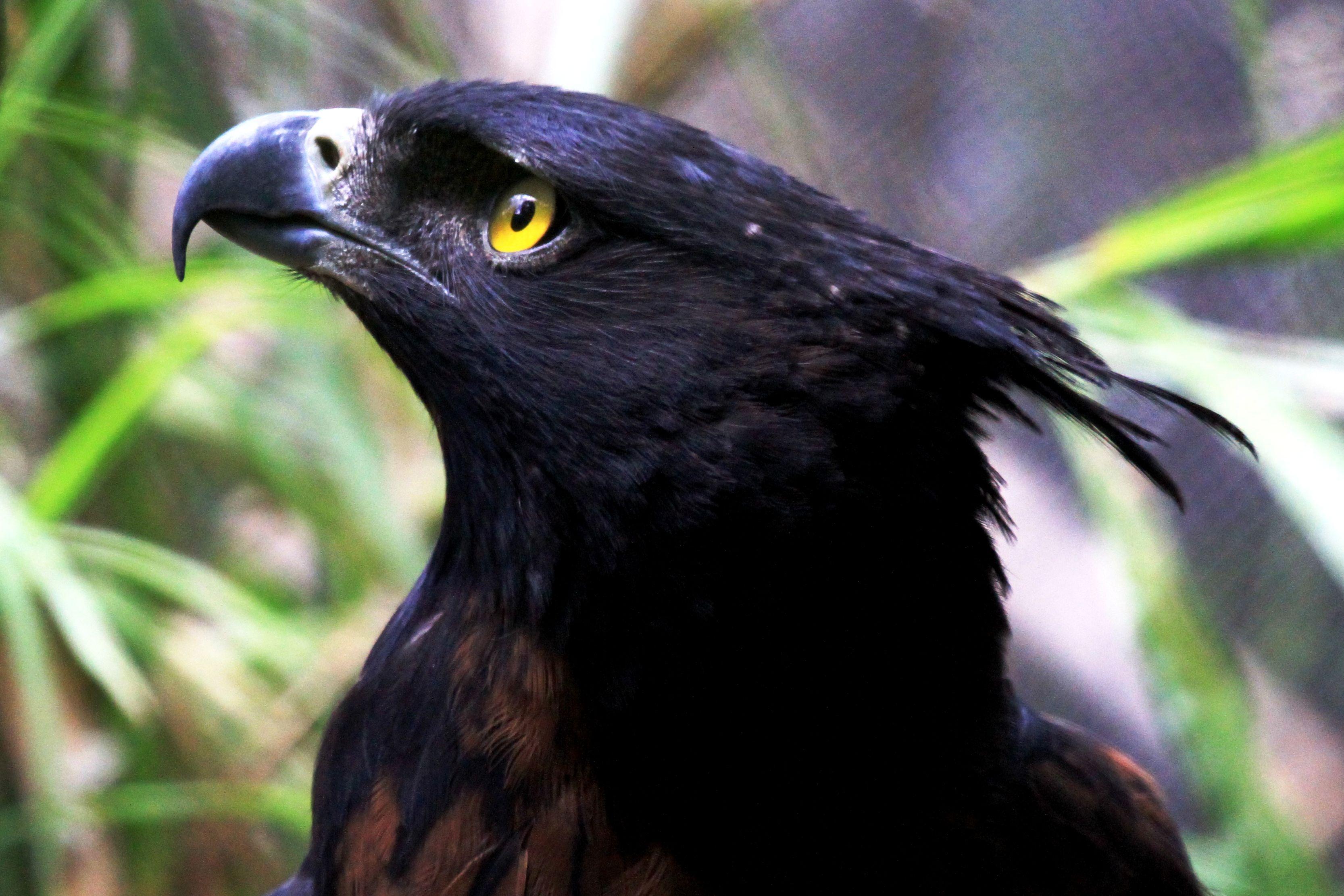 Image result for águila negra (Oroaetus  Isidori)