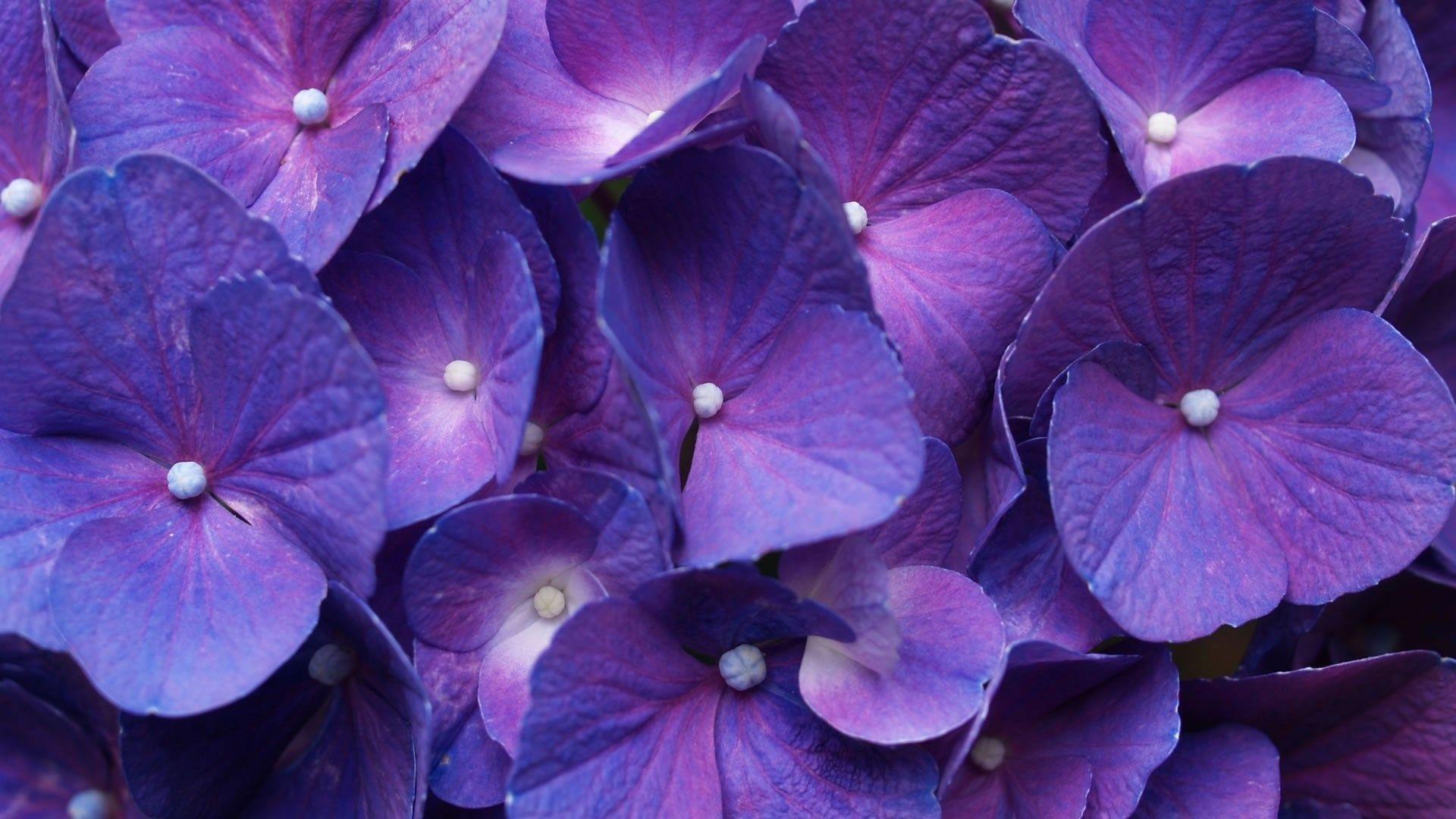purple flower backgrounds