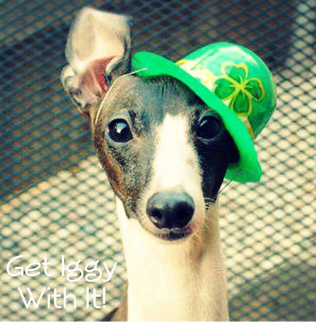 Get Iggy With It! Antonio the Italian Greyhound