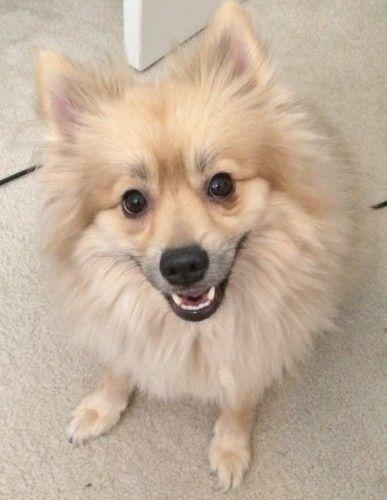Still Missing Pomeranian Male Dog In Temple Killeen Bell County