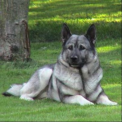 Norweigen Elkhounds | ...