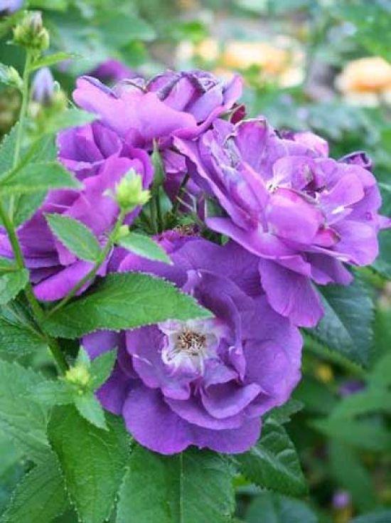 250 300cm Hohe Stammrose Hoher Sichtschutz Rosa Perennial Blue