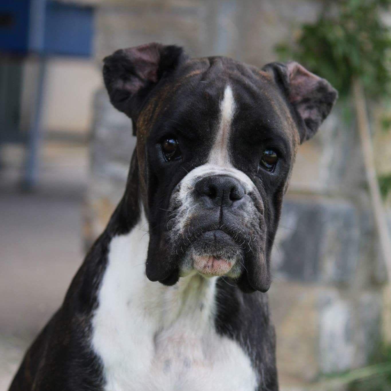 Great Brindle Boxer Bow Adorable Dog - 179e649d0416dec910df6091485a021e  Photograph_551911  .jpg