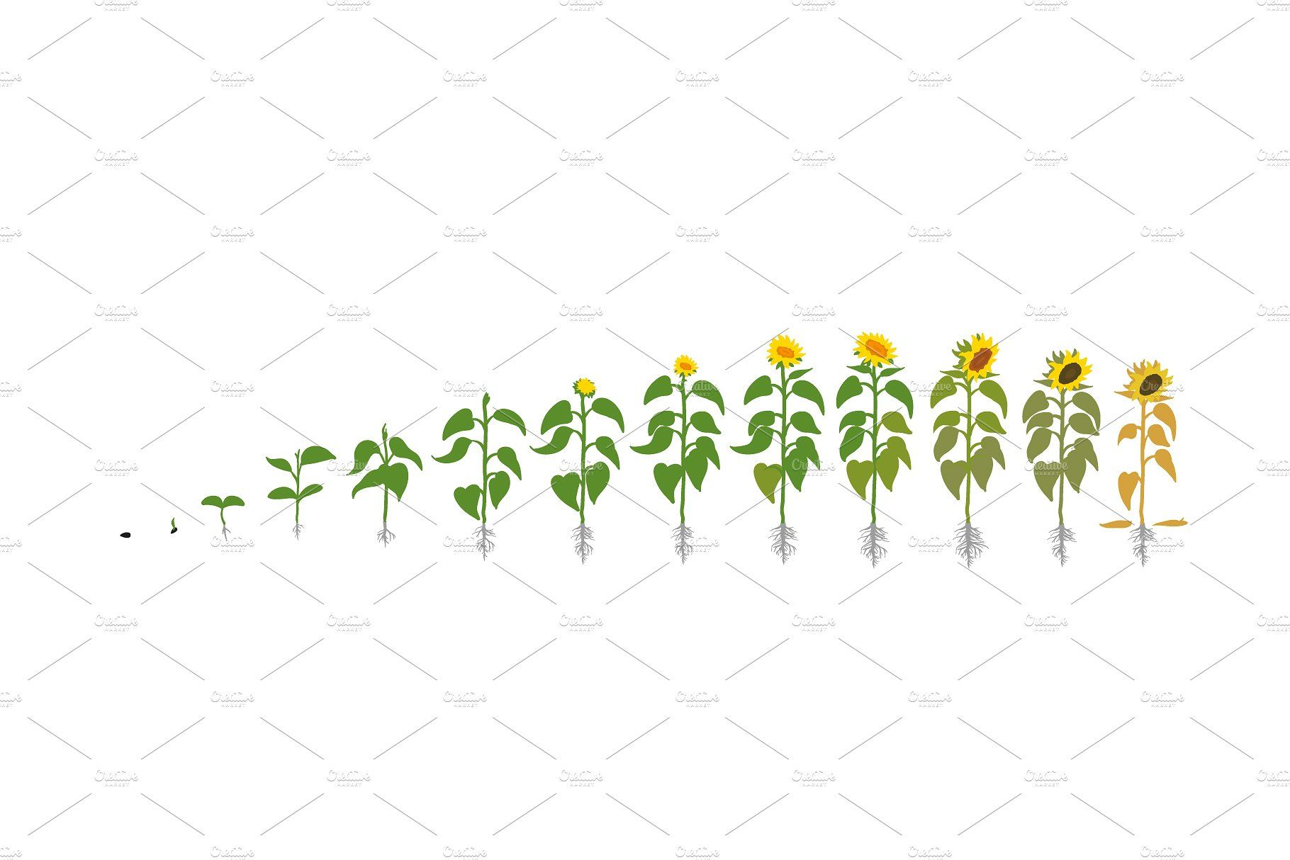 Vegetable Crop Growth Stages Planting Sunflowers Planting Vegetables Growing Plants