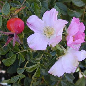 R. rugosa - Frau Dagmar Hastrup (Frau Dagmar Hartopp).  Hippy, Smelly and disease resistant - everything I love in a rose