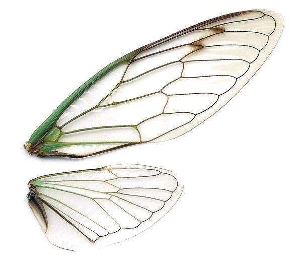 Cbcb74be02aeef18f241d2b78e34bb8a Cicada Wings Dragonfly Wings Jpg 600 530 Insect Art Insect Wings Insects