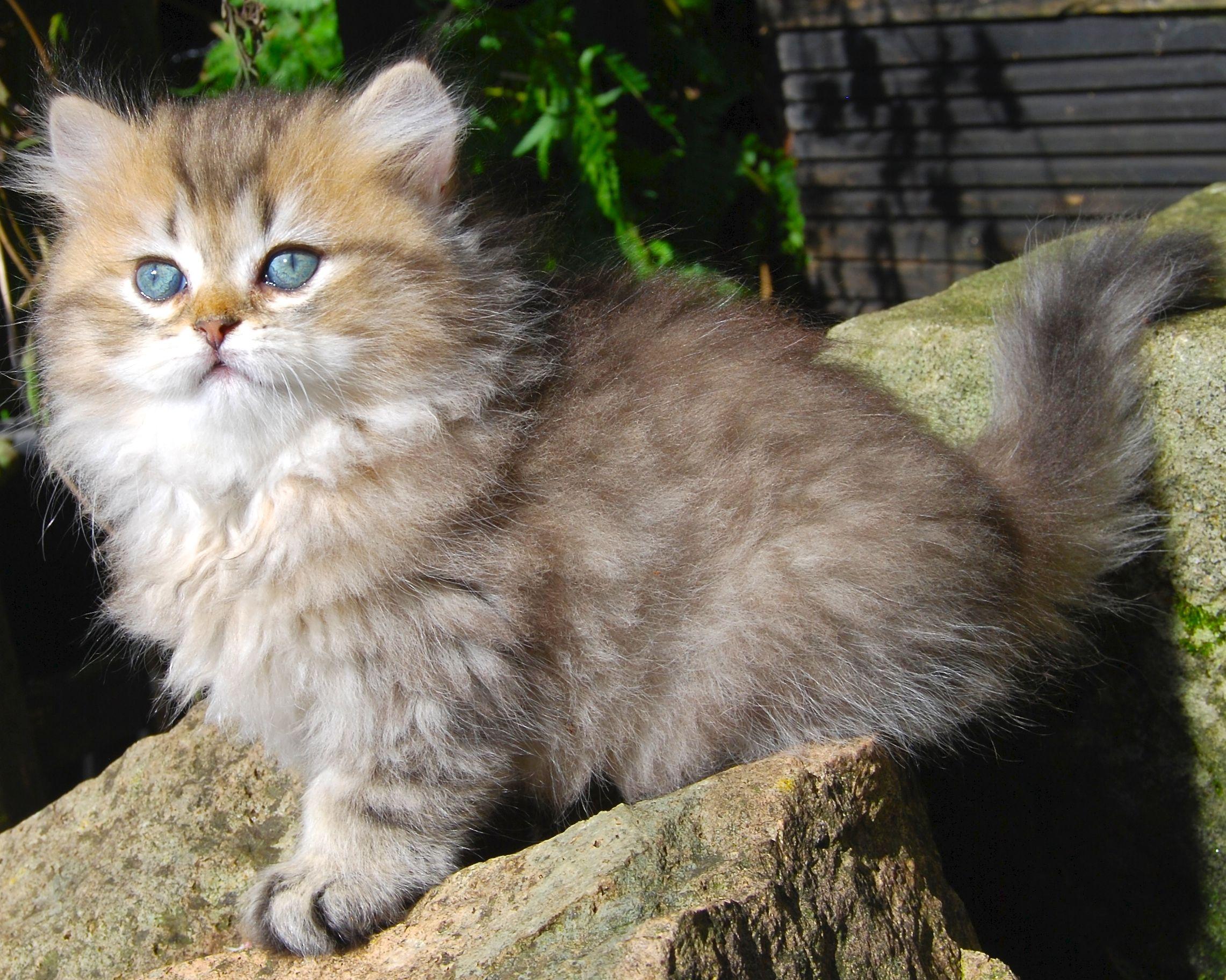Belle Ayr Solar Sun Kiss Cats And Kittens British Shorthair Cats Kittens
