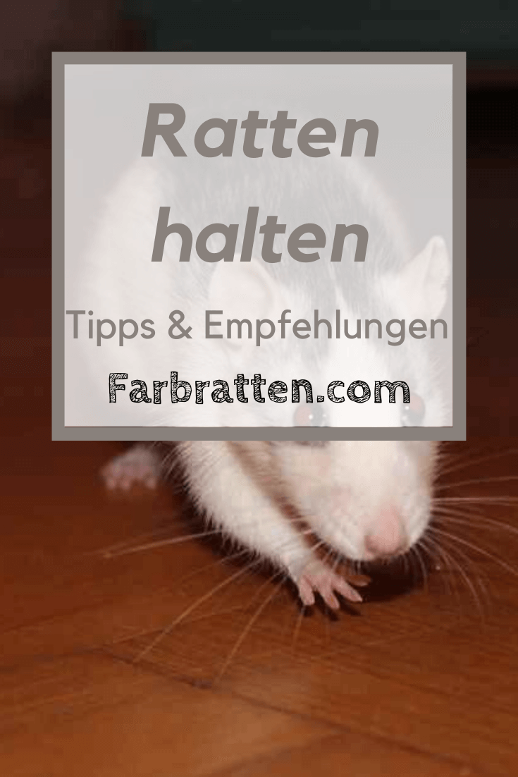 Ratten Halten Pro Und Contra Ratten Erfahrungen Tipps Sozialverhalten Sauberkeit Haltungsbedingungen Kosten Pl In 2020 Ratten Sozialverhalten Heimtiere