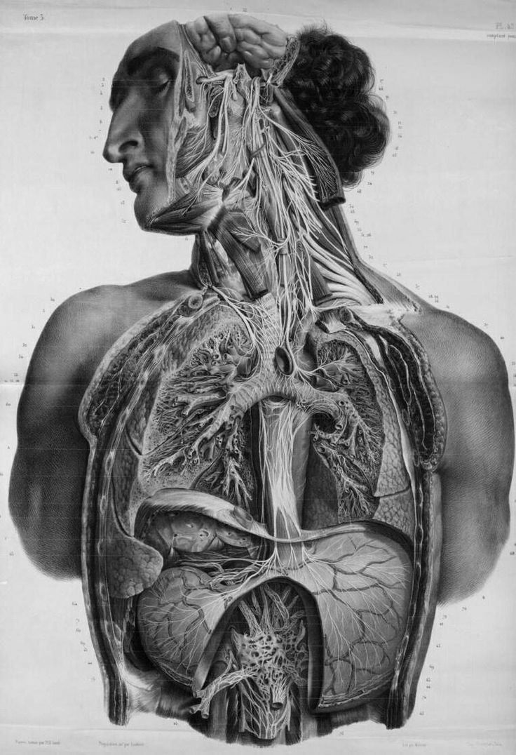 Autonomic nerves of the face, neck, thorax and abdomen by Nicolas ...