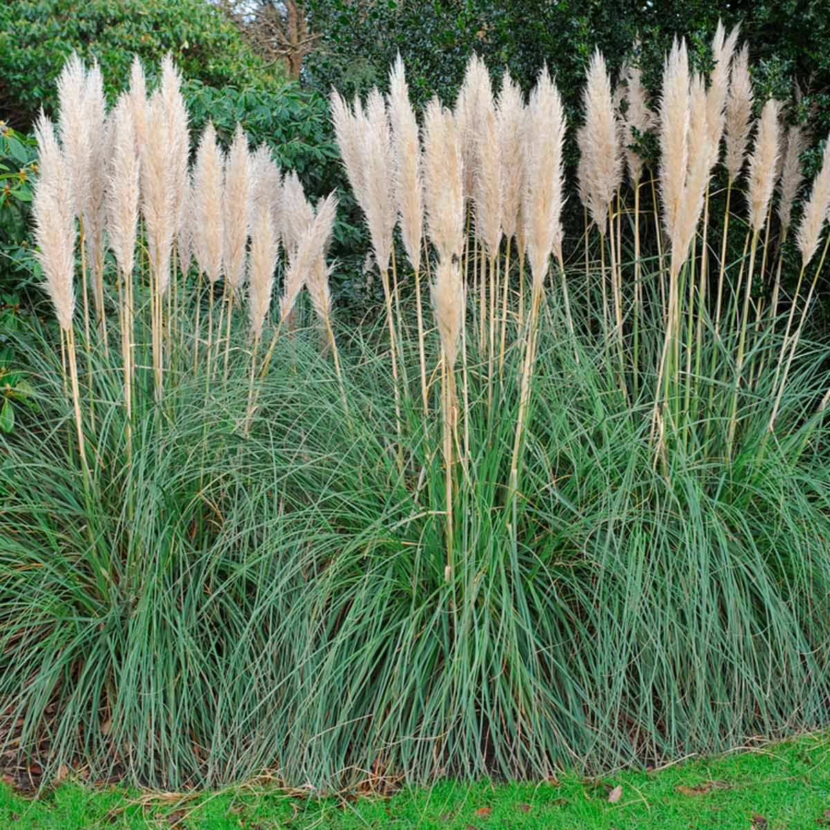 The Best Privacy Plants For Your Backyard Privacy Plants Privacy Landscaping Grasses Landscaping