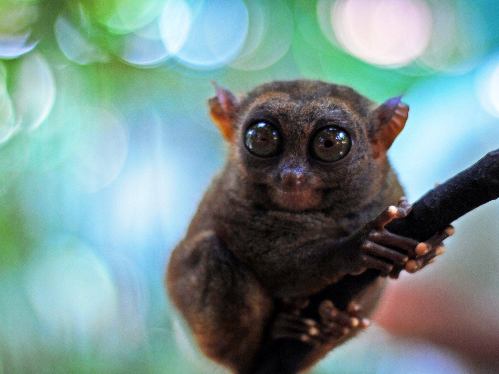 Cute Little Philippine Tarsier Monkey