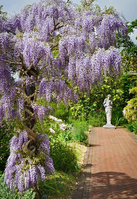 Wisteria Tree In Spring At Wisley Gardens Surrey Uk In 2020 Small Garden Trees Uk Plants Uk Small Garden Uk
