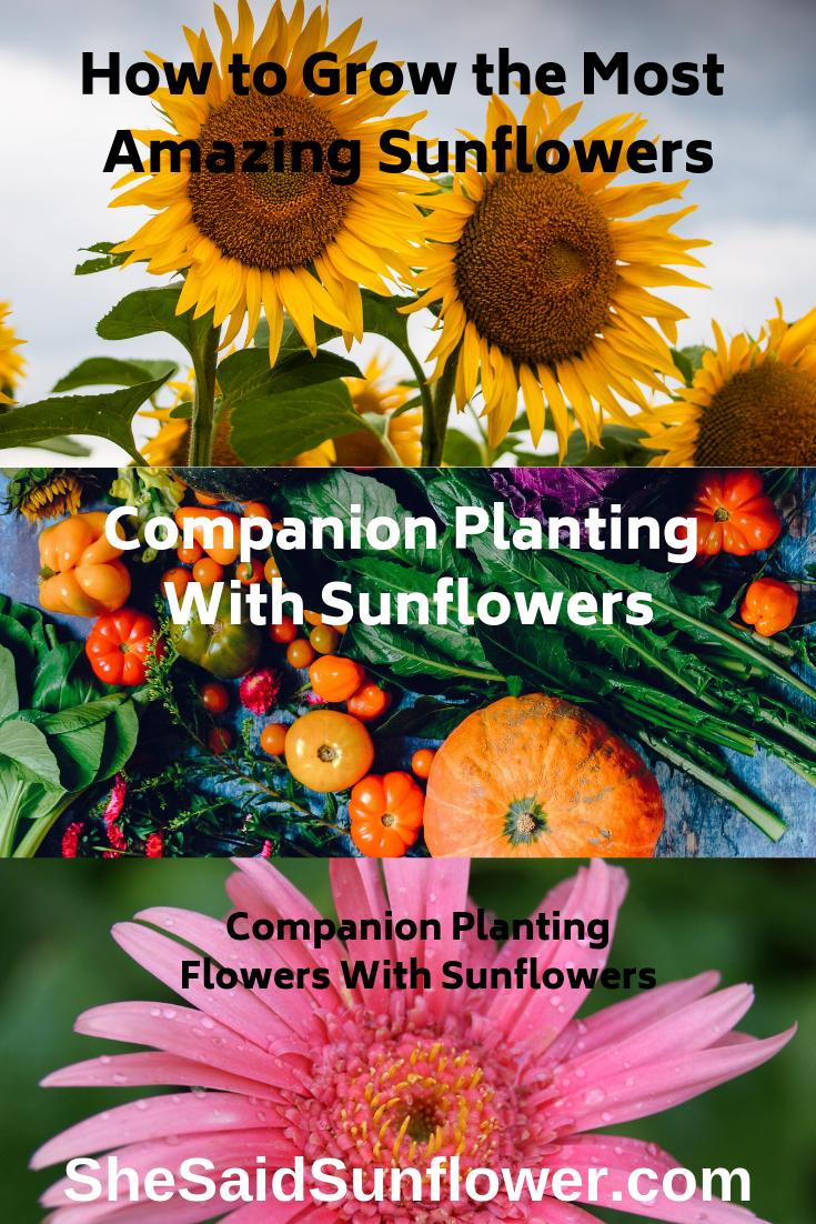 Best Sunflower Companion Plants Vegetables And Flowers With Charts Growing Sunflowers Planting Sunflowers Plants