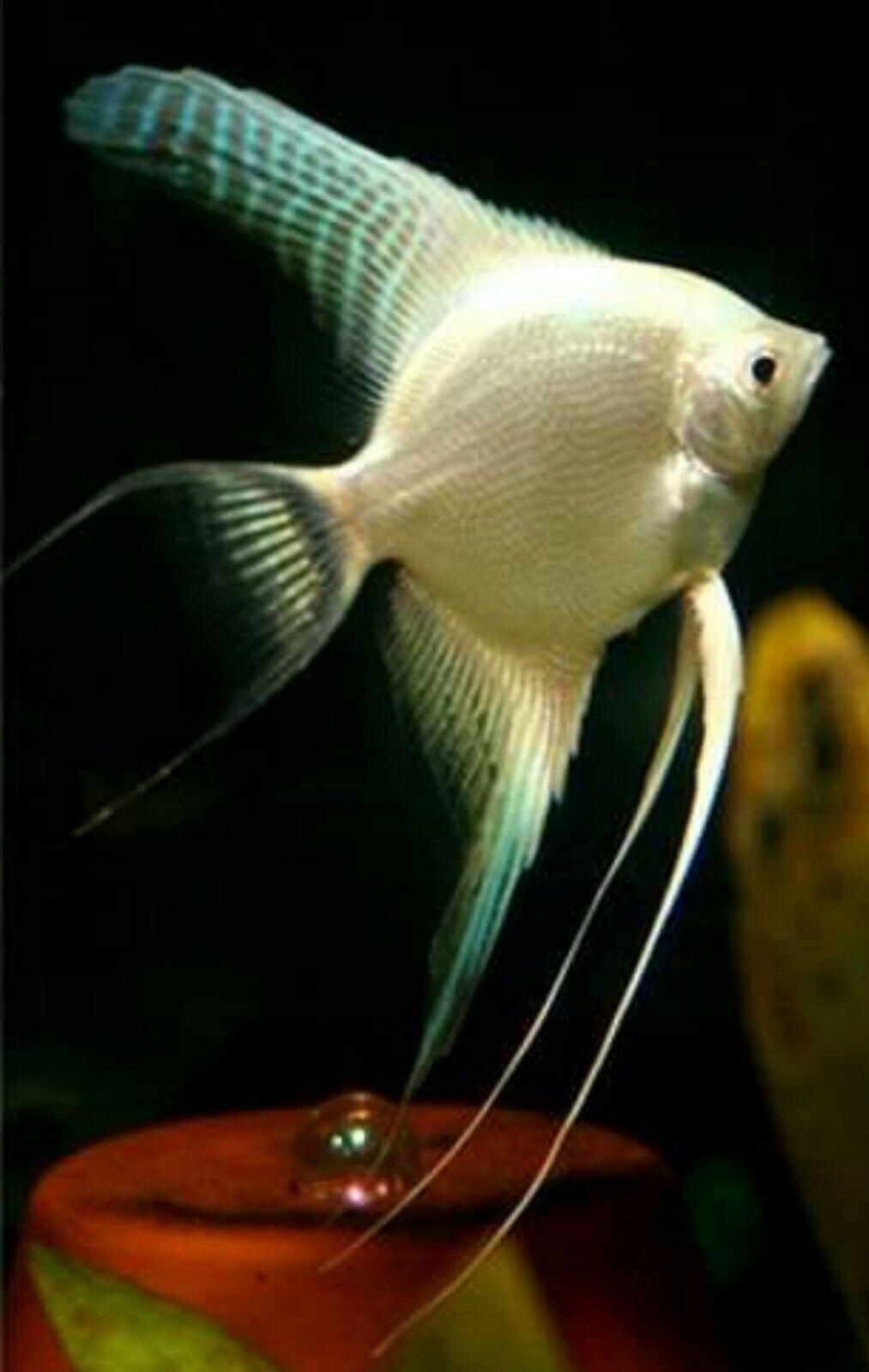 Platinum Angelfish P Scalare 3cm Angel Fish Tropical Freshwater Fish Cool Fish