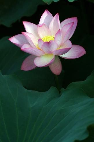 'Close-Up of Beatiful Pink Lotus' Photographic Print - kenny001 | Art.com