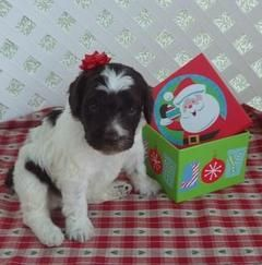 Medium Sized Chocolatewhite Labradoodle Puppies Puppies And Dogs