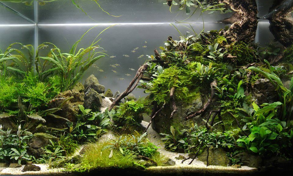 Bucephalandra blog bucephalandra aquascape tank for Aquarium wurzel