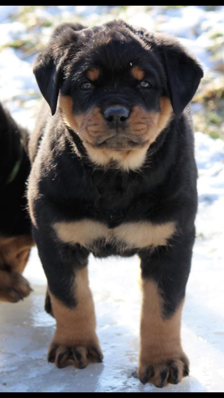 Rottweiler Rottweilerpuppy Dogtricks Pitbullpuppies Rottweiler Pitbull Puppies For Sale