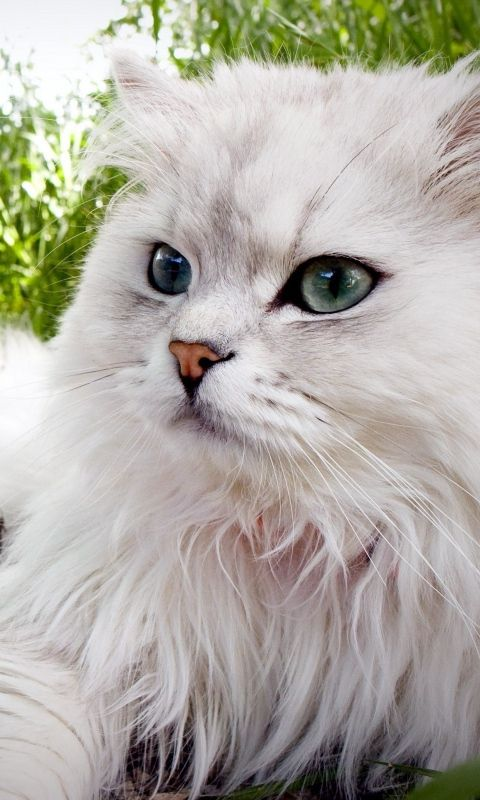 Download Wallpaper 480x800 Cat, Fluffy, Lie,  grass,  eyes HTC, Samsung Galaxy S2/2, Ace 480x800 HD Background