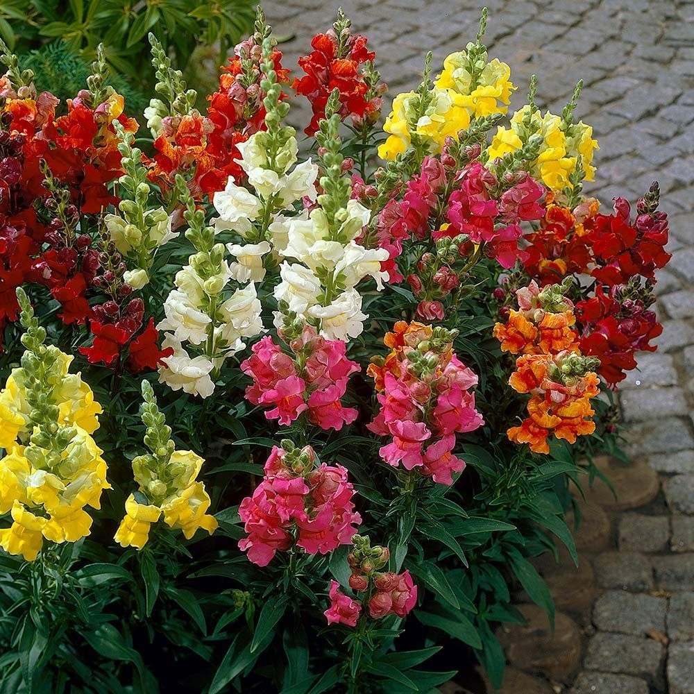 Antirrhinum majus Madame Butterfly Mix (With images