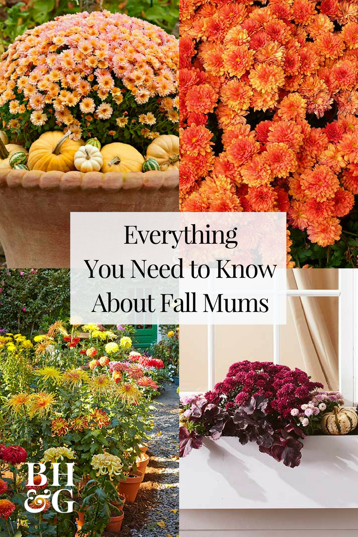 Fall mums landscaping ideas pinterest hardy perennials mums are a classic fall flower that can be planted in containers for decorative purposes or in a garden as a hardy perennial perennial mums have the best izmirmasajfo