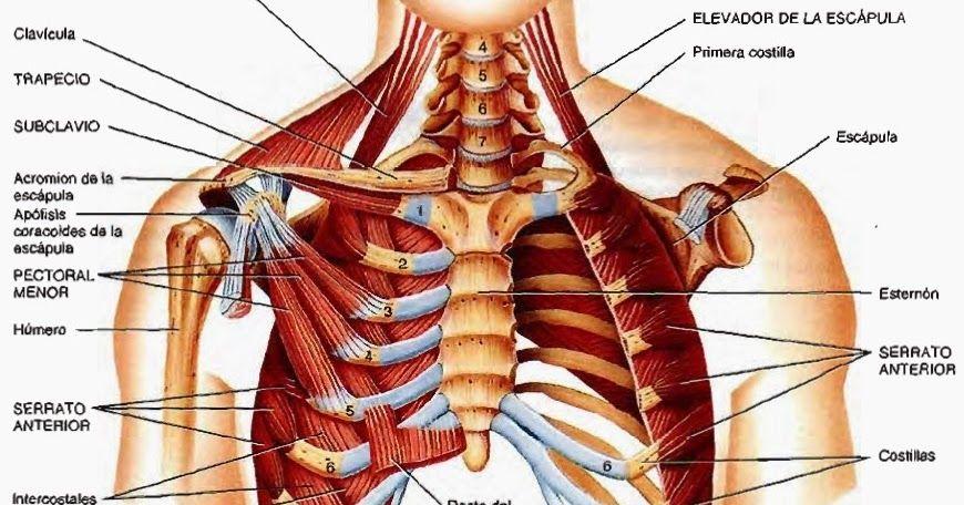 Temas de estudio para anatomía humana. Tejidos, órganos, sistemas ...