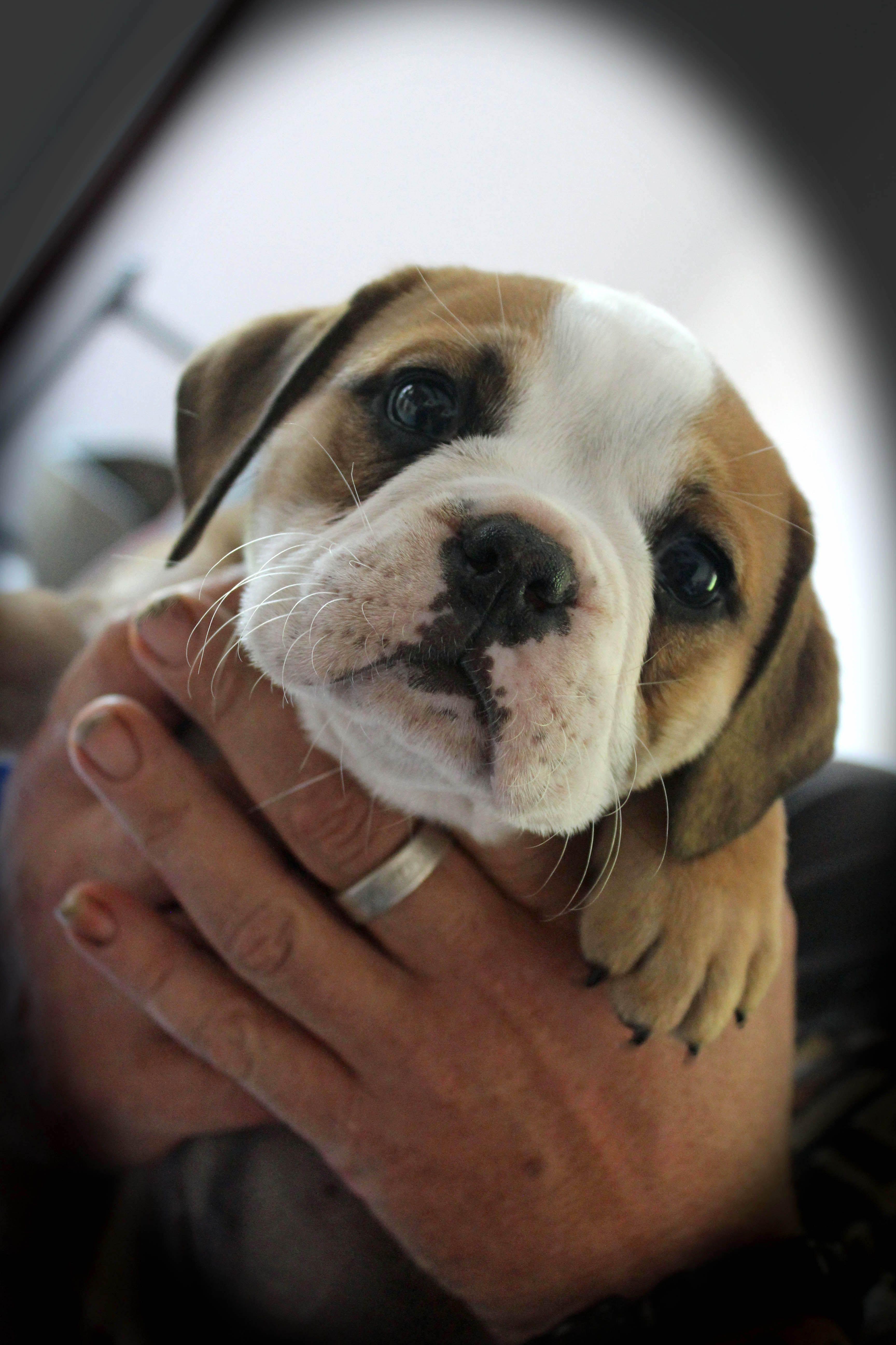 Idea By Zoran Franicevic On English Bulldogs Bulldog Breeds English Bulldog Bulldog