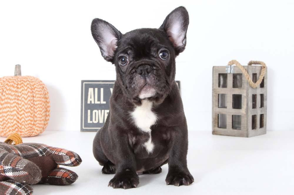 Puppies for Sale in Florida and Nationwide Puppies