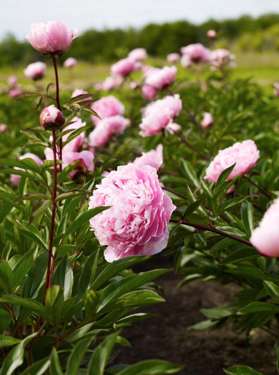 Field Of Pink Peonies By Nicole Franzen Flowers Pinterest