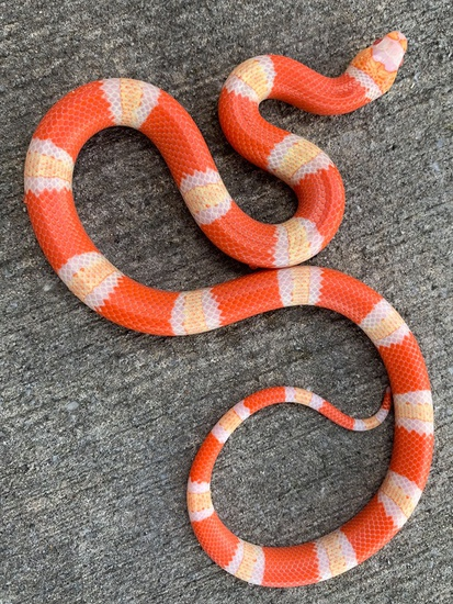 Albino Tricolor Honduran Milk Snake By Snakes At Sunset Morphmarket Usa In 2020 Milk Snake Snake Tri Color
