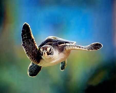 Image result for baby sea turtle waving
