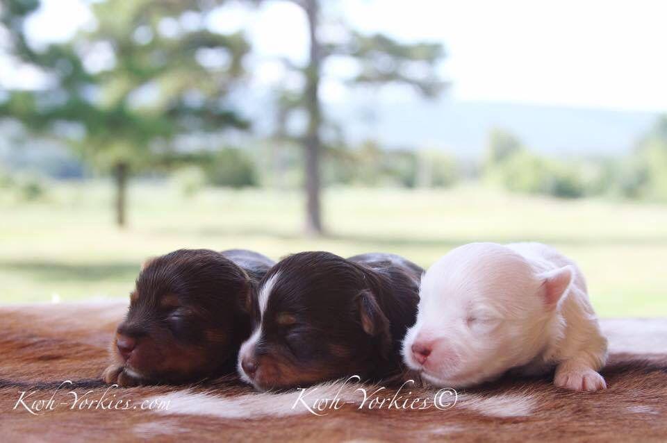Colorful Yorkies Yorkies Yorkie Colorfulyorkies Puppy Dog