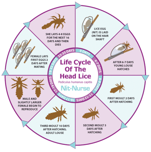 my hair helpers head lice life cycle chart About Nits