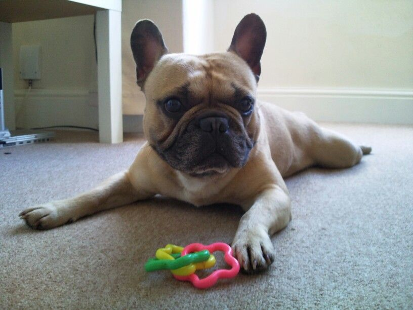 Wilson the Frenchie