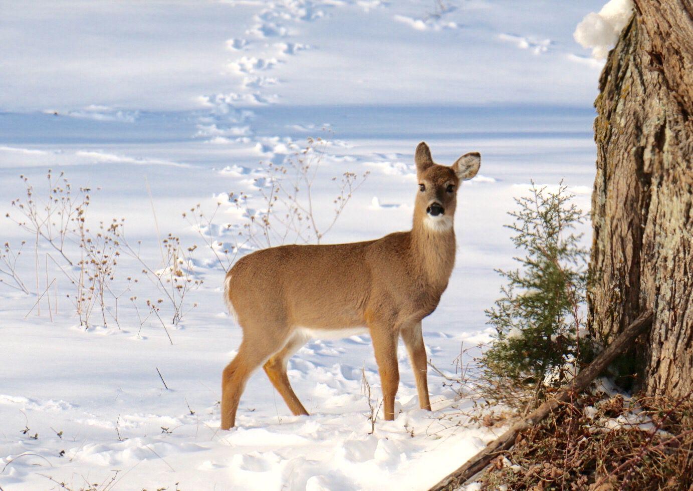 Deer in snow 2016