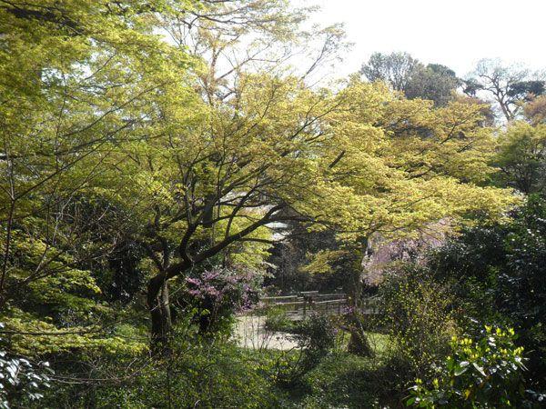 Chinzanso_Garden_7Cherry blossoms at Chinzanso Garden, Tokyo, Japan http://www.cheapojapan.com/free-beautiful-and-colourful-chinzanso-garden-in-tokyo/ #sakura #cherryblossoms