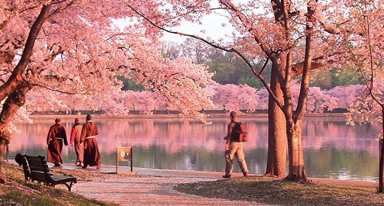 Cherry Blossoms In Full Bloom In Washington D C Visiting Washington Dc Cherry Blossom Festival Dc Best Instagram Photos