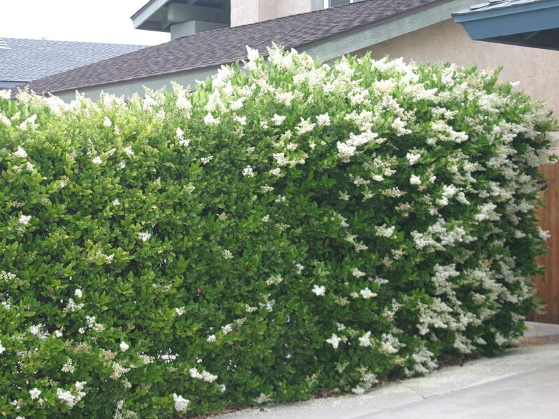 Hedge Option Wax Leaf Privet Attractive But Kind Of Boring Maybe In A Good Way Narrow Material Can Be Clipped Or Left To More Bushy