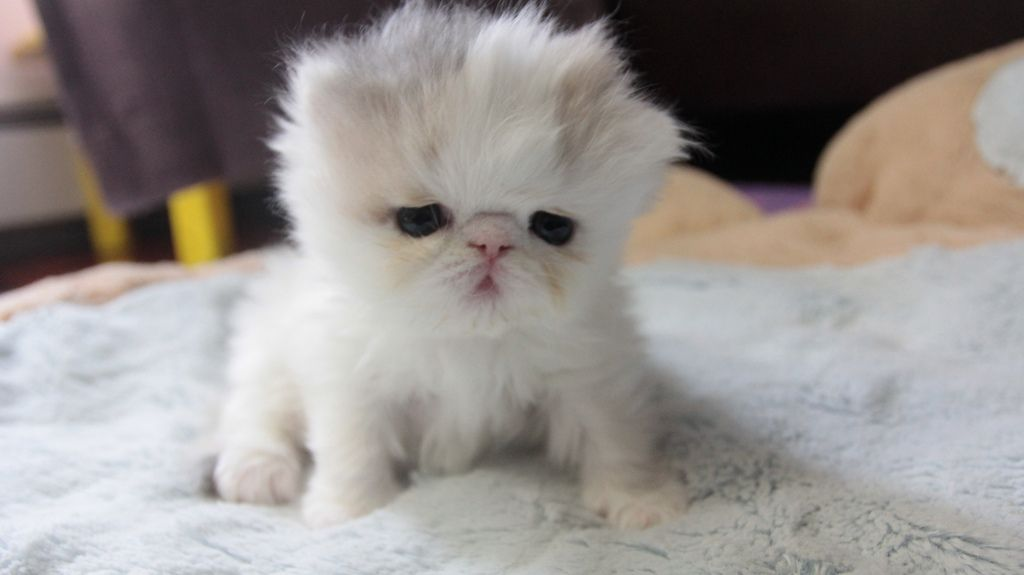 Sweetfurr Marshmallow Development At 4 Weeks Old Baby Kittens Grumpy Cat Cute Animals