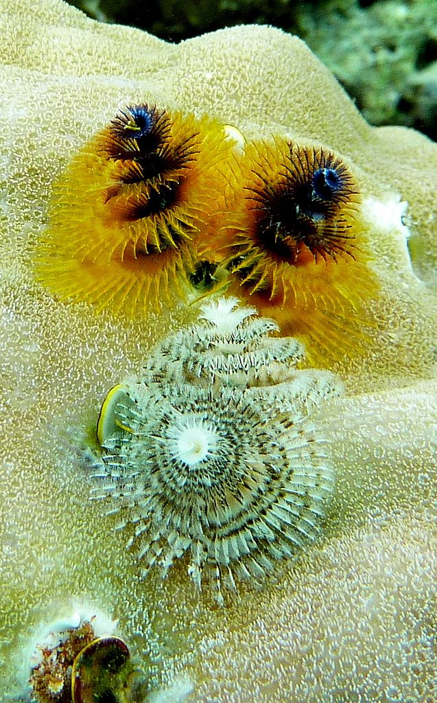 Christmas Tree Worms Uepi Bightly Coloured Christmas Tree Worms Spirobranchus Giganteus In Live Coral In Shallow Depths Near The Uepi Div Sea Creatures Live Coral Dive Shop