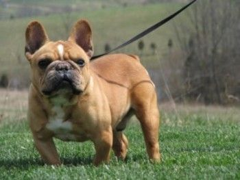 Bill French Bulldog Brindle M Young Maine Line Animal Rescue Pa