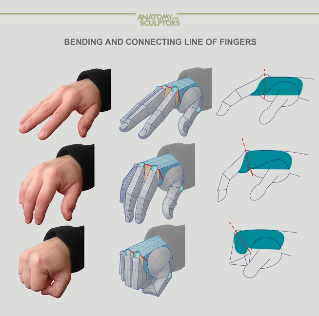 Bending and connecting line of fingers by Anatomy Next | Anatomy ...