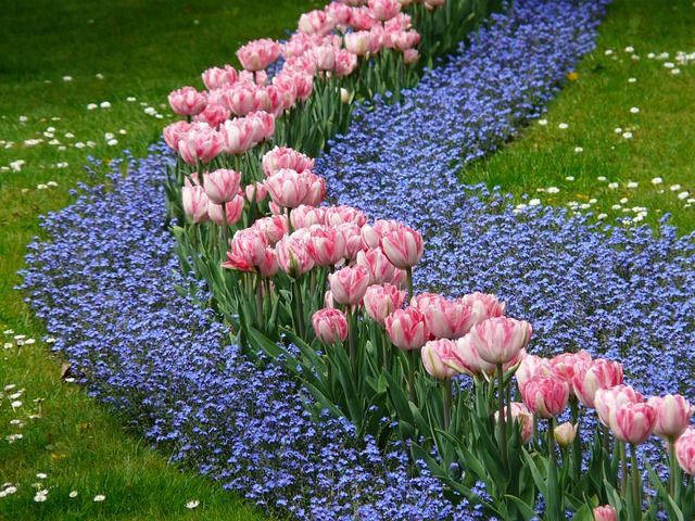 Free Image On Pixabay Tulips Bed Pink Forget Me Not Tulips Garden Plants Tulips